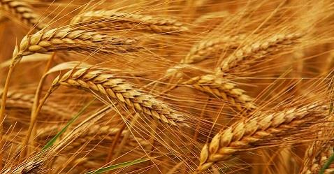 Government levies 10% import duty on wheat and tur dal